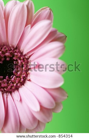 Half Pink Gerber Daisy with Green Background