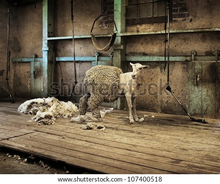 Half shorn sheep in an old rural shearing shed. - stock photo