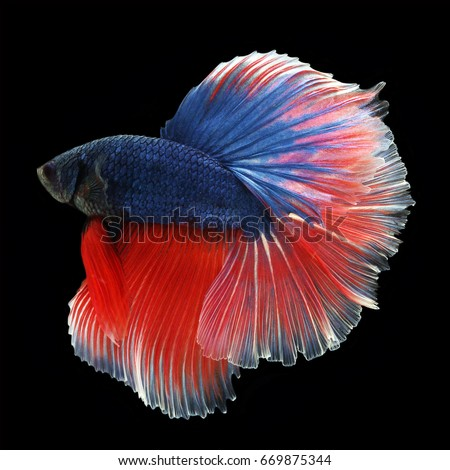 Fighter fish stock images royalty free images vectors for Black and white betta fish