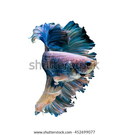 Halfmoon Blue gragon fish, siamese fighting fish on white background