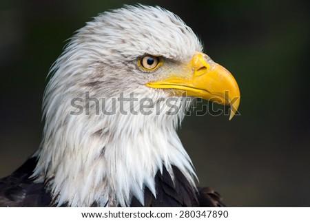 Haliaeetus leucocephalus - bald eagle - stock photo