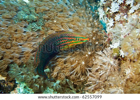 Halichoeres trimaculatus - stock photo