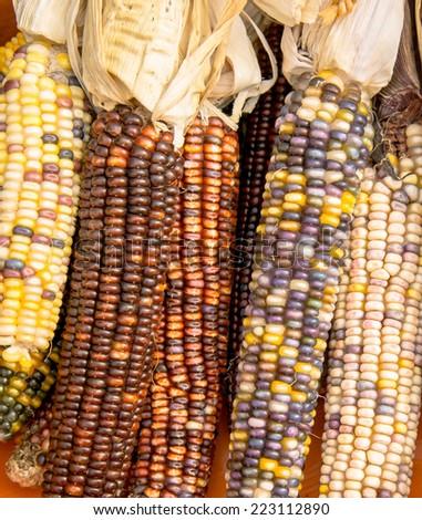 Halloween decoration Indian corn - stock photo