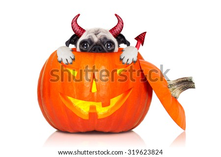 halloween devil pug dog inside pumpkin, scared and frightened, hiding from you , isolated on white background - stock photo