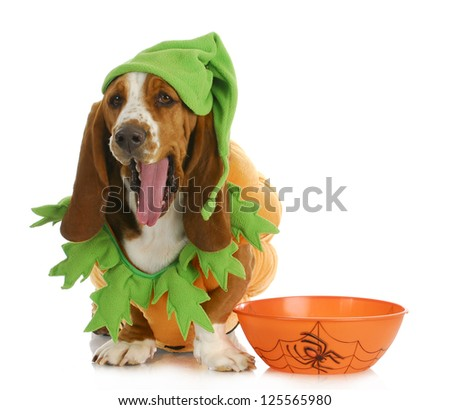 halloween dog - basset hound dressed up like a pumpkin sitting beside trick or treat bowl on white background - stock photo