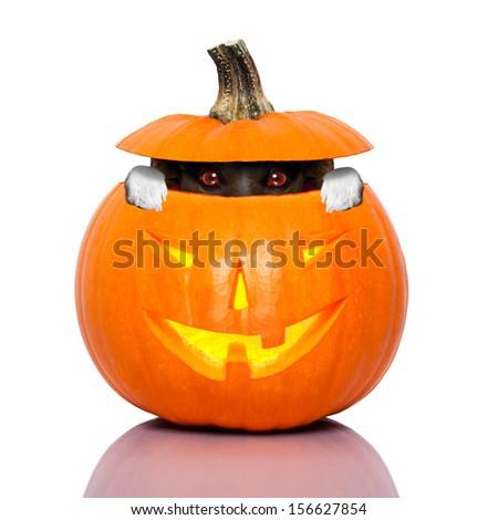 halloween dog inside a pumpkin looking spooky - stock photo