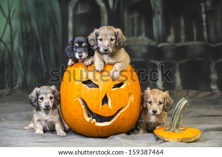 Halloween Dog - puppies in and around Jack-o-lantern pumpkins  - stock photo