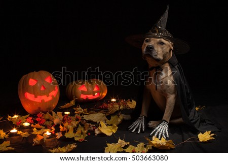 Halloween dog with black wizard hat and Pumpkins with leaves on the floor on a black background