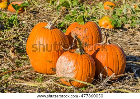 Halloween Jack o' Lanterns in the field ready to pick