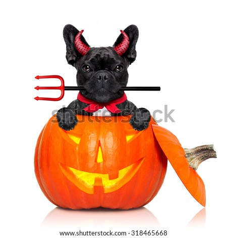 halloween pumpkin witch french bulldog  dog inside a pumpkin dressed as a bad devil , isolated on white background - stock photo