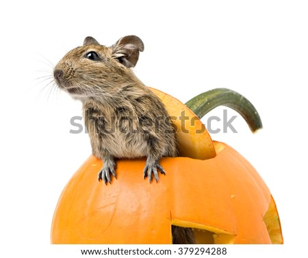 Halloween pumpkin with funny mouse inside isolated on white - stock photo