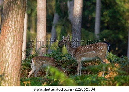 Haltern am See, Germany - October 3 2014: portrait of a deer with her young in a wild nature park, Germany