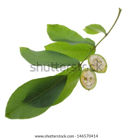 halved green walnut on twig isolated on white background - stock photo