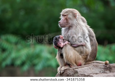 Hamadryas Baboons (Papio hamadryas) - stock photo