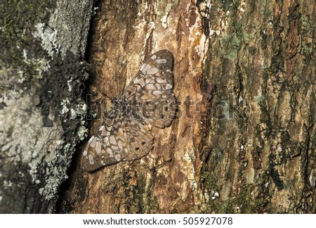 Hamadryas butterfly well camouflaged on the trunk of a tree, Western Andean foothills, Ecuador