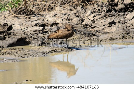 Hamerkop and its reflection