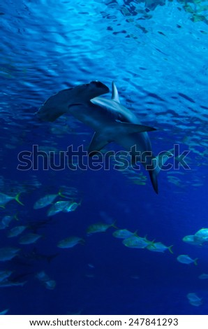 Hammerhead shark between the fish steam