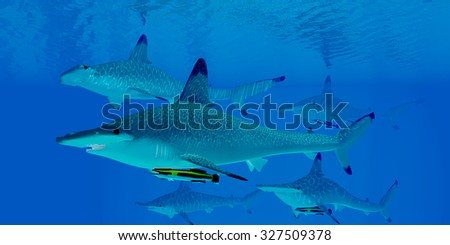 Hammerhead Sharks - A group of predatory Hammerhead sharks swim together searching for prey in clear ocean waters. - stock photo