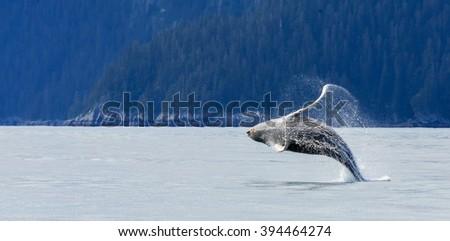 Hampback whale breaching jumping  at Kenai fjord national park - stock photo
