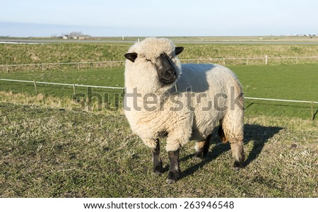 hampshire down sheep with thick coat of wool on green grass in holland nature on a dike with wide horizon and farm on the background in summer  - stock photo