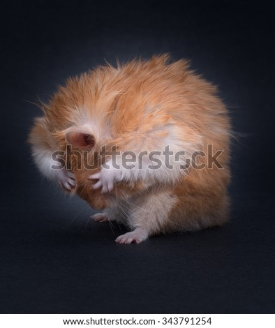 Hamster covering eyes - stock photo
