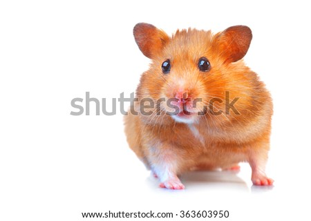 Hamster. Cute pet isolated on a white background - stock photo