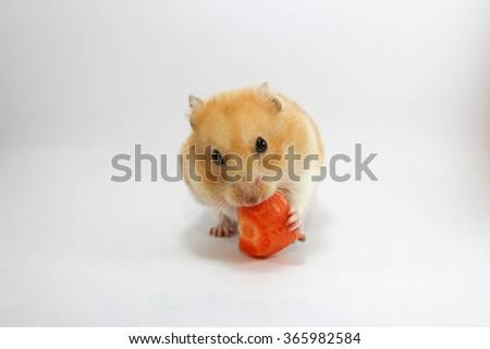 Hamster eating carrot - stock photo