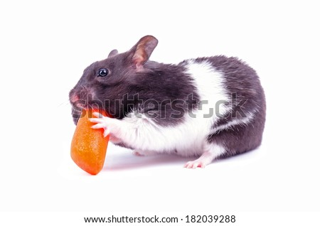 Hamster eating small carrot - stock photo