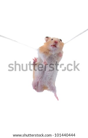Hamster hangs on a rope isolated on a white background - stock photo