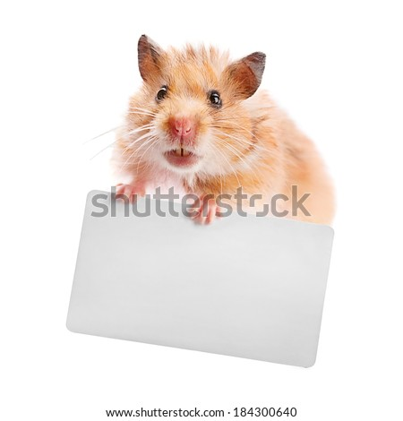 Hamster holds a business card isolated on white - stock photo