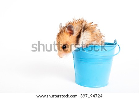 Hamster in a turquoise decorative bucket - stock photo