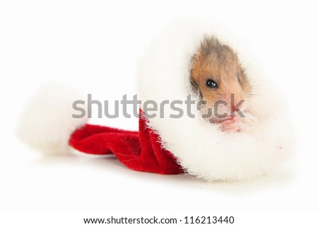 Hamster in Christmas hat