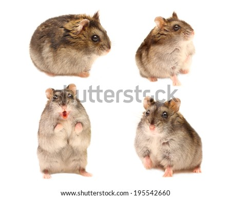 Hamster in different poses - stock photo