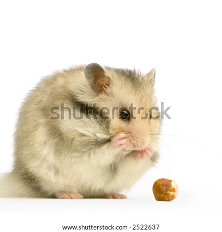 Hamster in front of a white background and looking a nut - stock photo