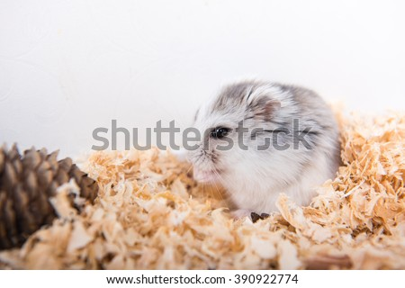 Hamster in sawdust