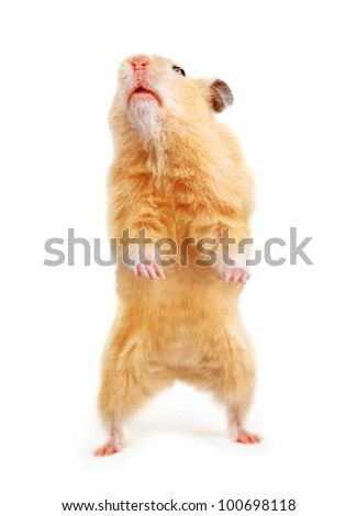 Hamster isolated on the white - stock photo