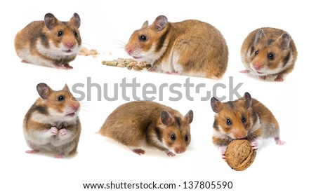 hamster isolated on white background - collection - stock photo