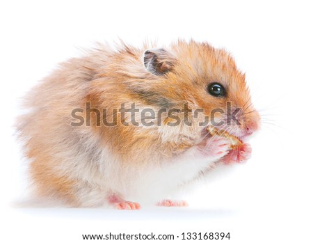 Hamster isolated on white eating cookies - stock photo