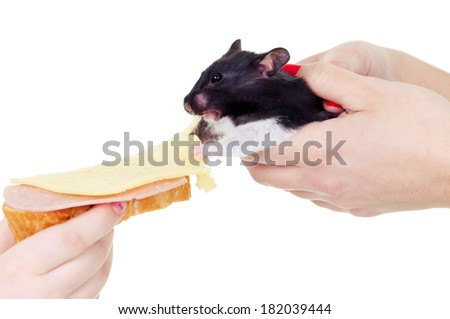 Hamster likes sandwich - stock photo