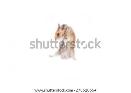 hamster on white background. - stock photo