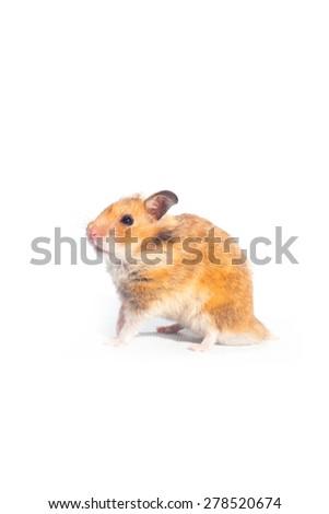 hamster on whtte background. - stock photo