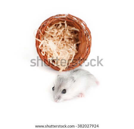 Hamster or mouse on a white background - stock photo