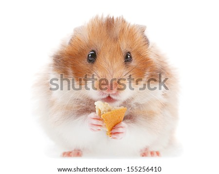 Hamster pet eating cookie on white - stock photo