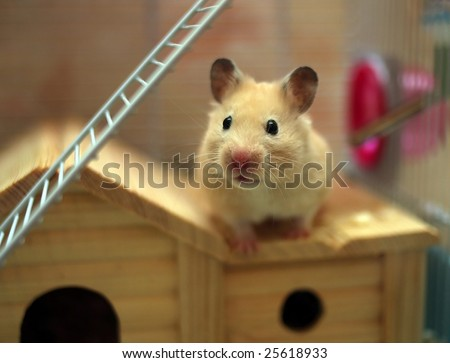 Hamster poses in front of the camera