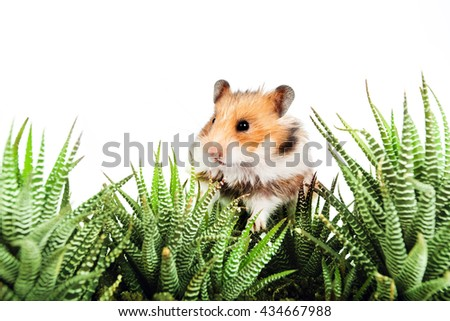 Hamster sitting in the green leaves of cactus on a white background - stock photo