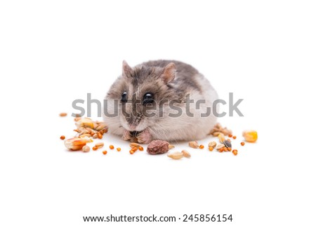 hamster small  eats grain in front of a white background - stock photo