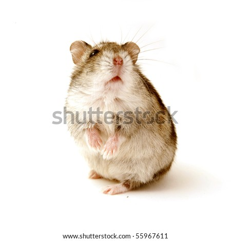 hamster standing isolated on white - stock photo