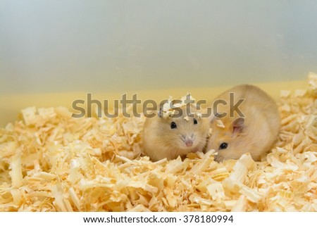 Hamster two brothers are playing together, having fun - stock photo