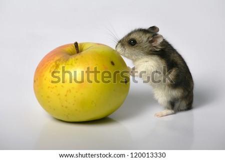 Hamster with  apple on grey floor - stock photo