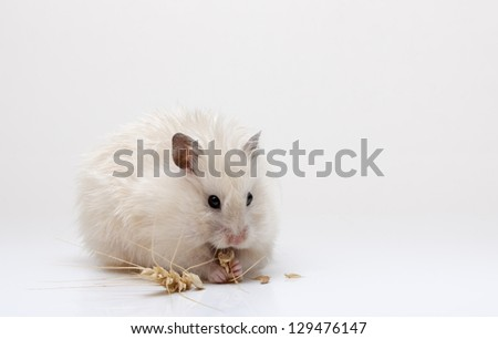 Hamster with food on a white background
